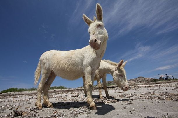 asinara donkeys1