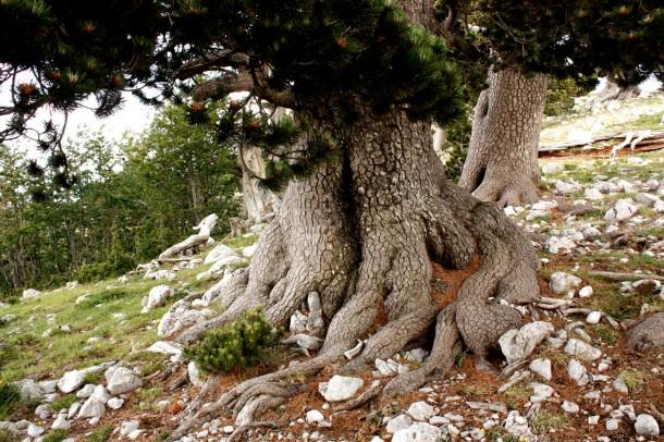 Bosnian pine1