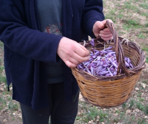 The Precious Saffron of Navelli, Abruzzo