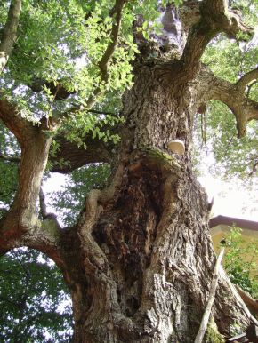 Where to Find the Oldest Trees in Italy
